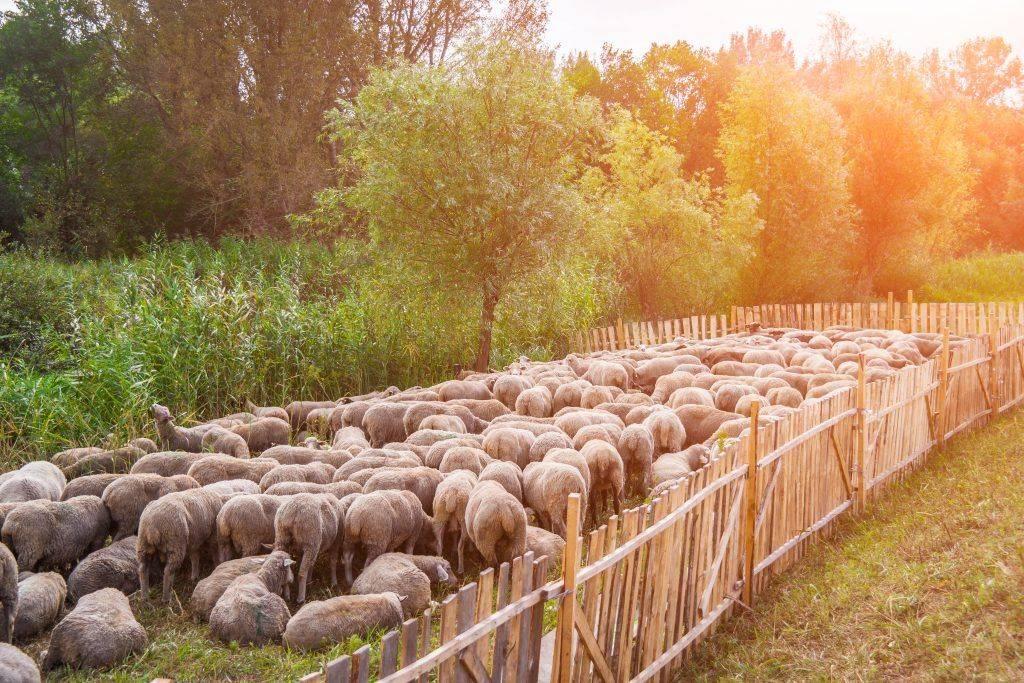 Разведение овец как бизнес для начинающих. пошаговая инструкция