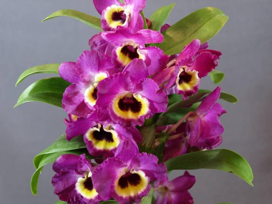 Орхидея дендробиум: варианты ухода и размножения в домашних условиях