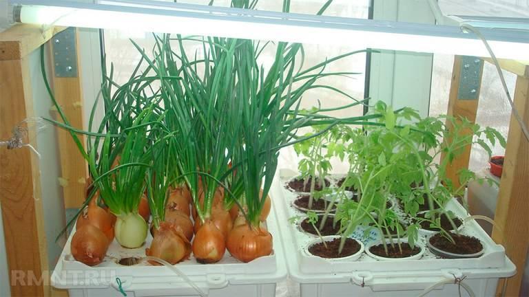 Выращивание лука методом гидропоники | огородник
