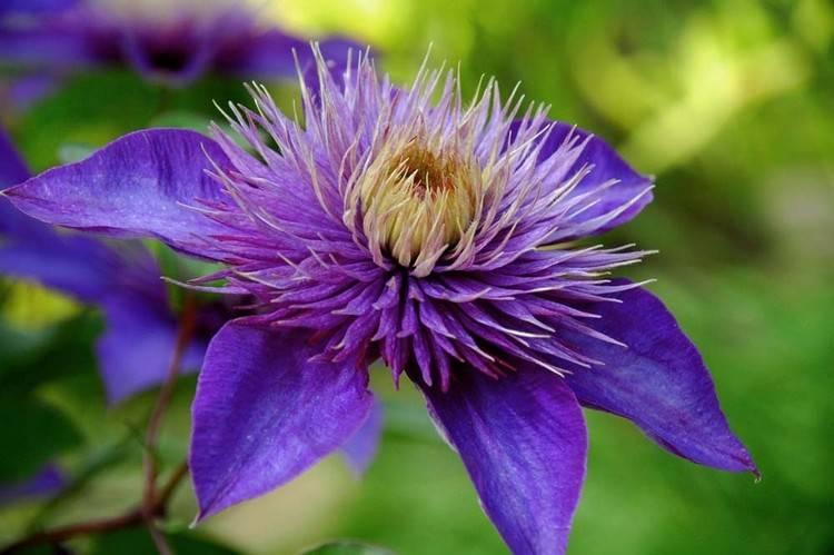 Когда обрезать клематисы осенью: пошаговые советы: новости, цветы, сад, советы, сад и огород