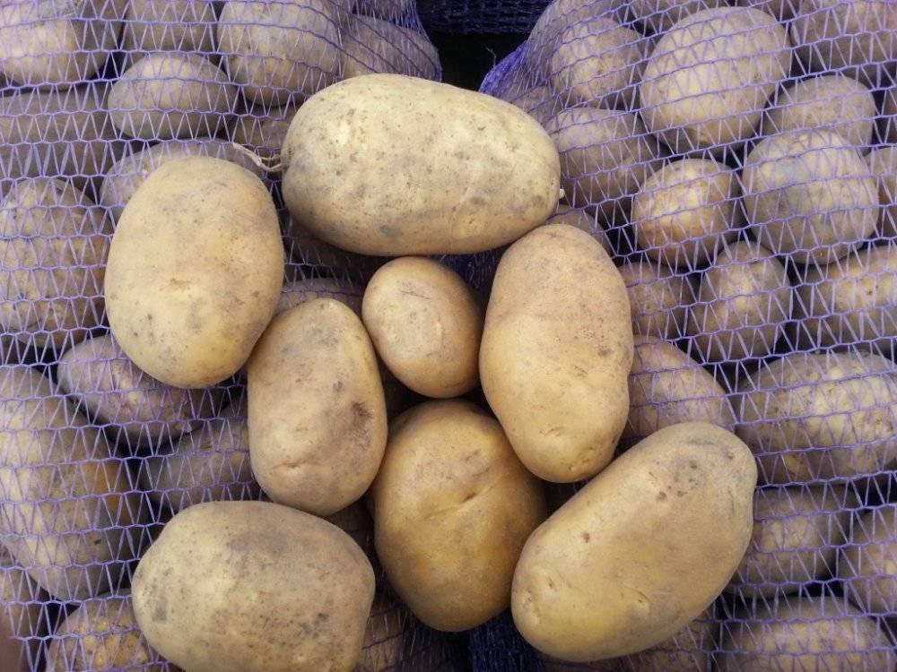 Картофель колобок: характеристика сорта и сравнение с другими в таблицах, отзывы