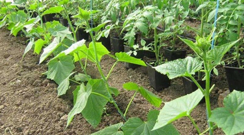 Описание огурцов всем на зависть f1 и выращивание гибрида самостоятельно
