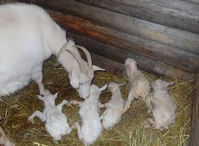 Окот домашней козы: подготовка, роды, осложнения