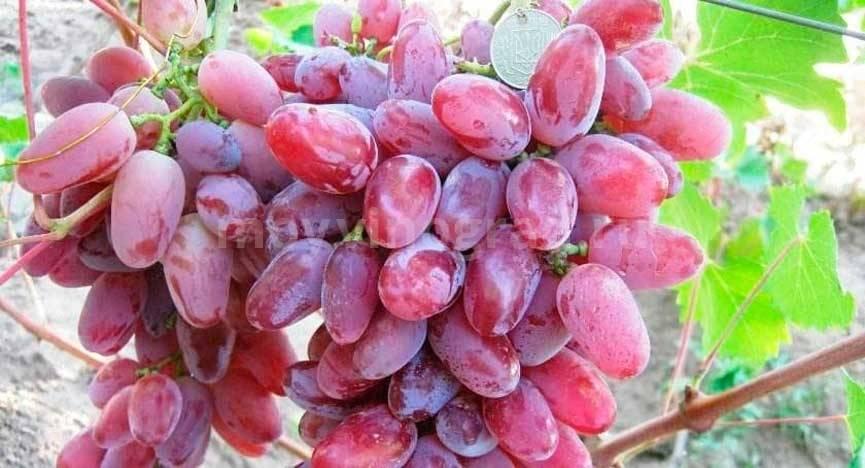 Описание сорта винограда эверест: фото и отзывы   vinograd-loza