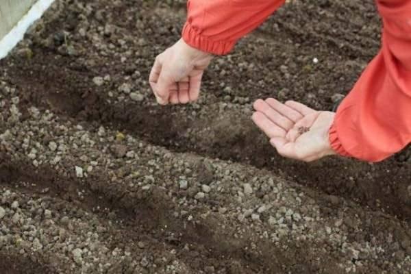 Уход за щавелем в открытом грунте на огороде и дома, чтобы был хороший урожай: как поливать, надо ли обрезать, когда он цветет, как правильно пересаживать весной? русский фермер