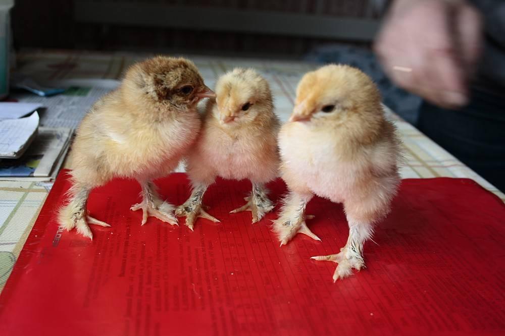 Чем кормить цыплят в первые дни жизни: нормы и рацион питания в домашних условиях