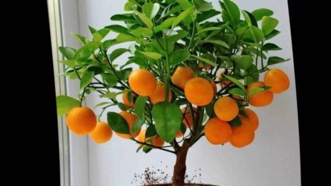 Мандариновое дерево - выращивание из косточки или саженца, оптимальные условия для роста в помещении