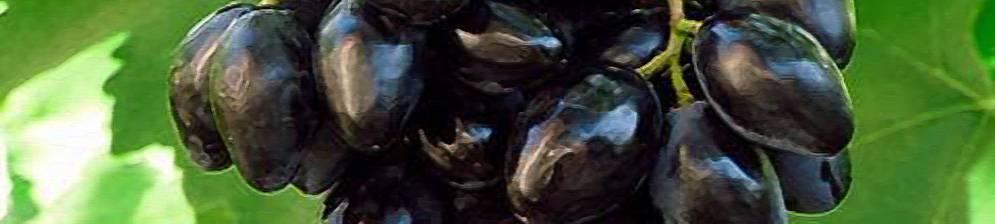 Сорт винограда ромбик- описание сорта, правила посадки и ухода