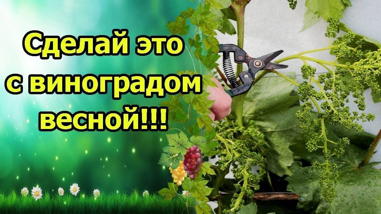 Прививка винограда весной для начинающих - сроки, фото и видео