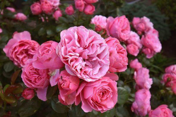 Как ухаживать за плетистыми розами осенью, когда нужно их обрезать