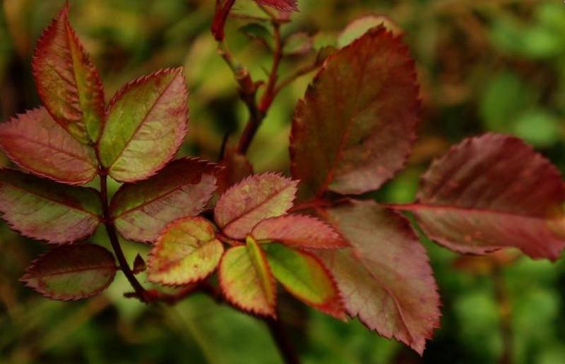 Почему у роз летом желтеют и опадают листья, что делать