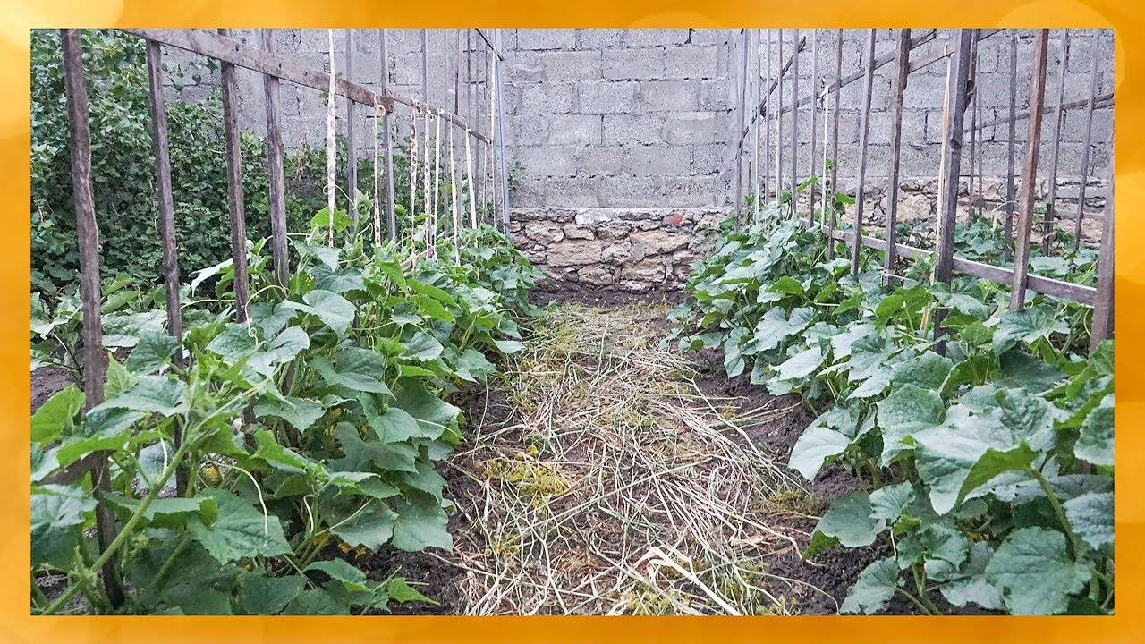 Огурцы на шпалере в открытом грунте: как формируются грядки и советы для начинающих огородников (105 фото)