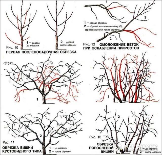 Как правильно обрезать вишню осенью: схема обрезки