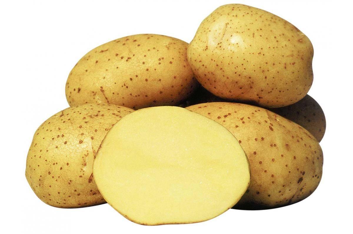 Сорт картофеля колетте: описание, посадка и уход русский фермер