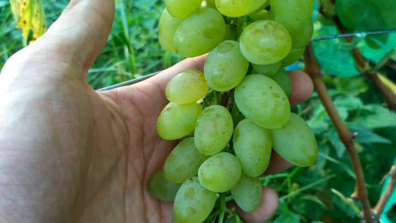 Хотите собирать виноград с карамельным вкусом? сажайте «русский ранний»!