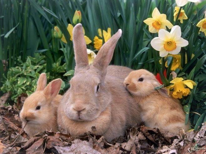 Когда отсаживать крольчат от крольчихи: в каком возрасте, чем кормить