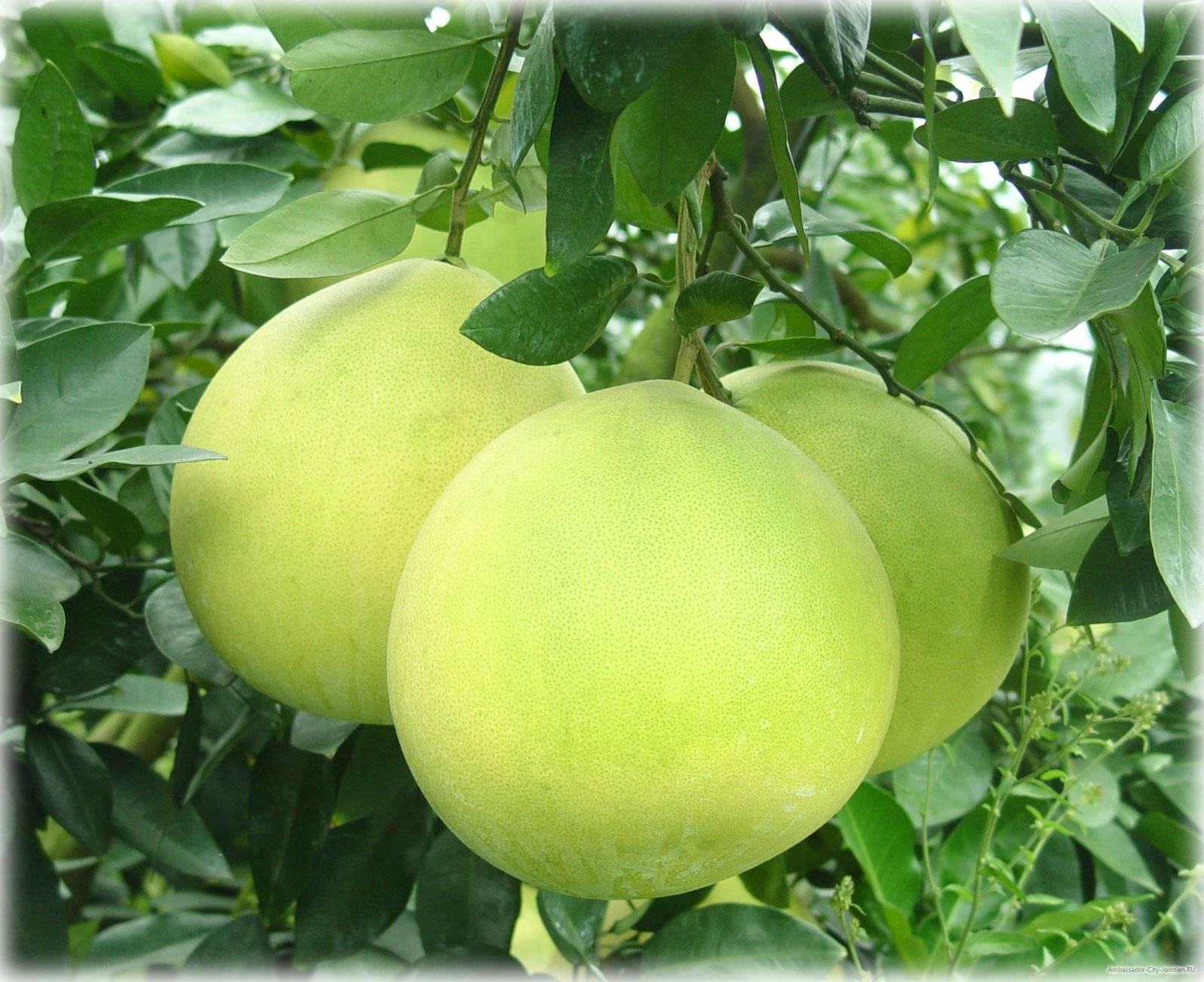 Помело (фрукт) — википедия