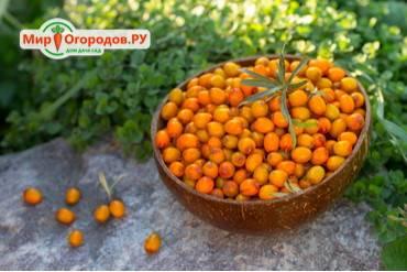 Облепиха — выбор сорта, выращивание, полезные свойства