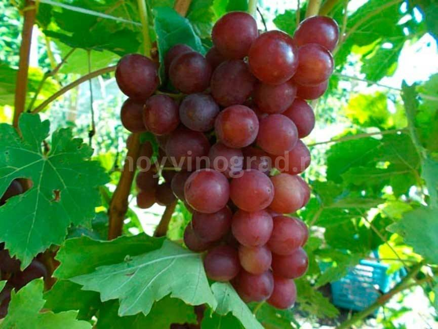 Сорт винограда оригинал