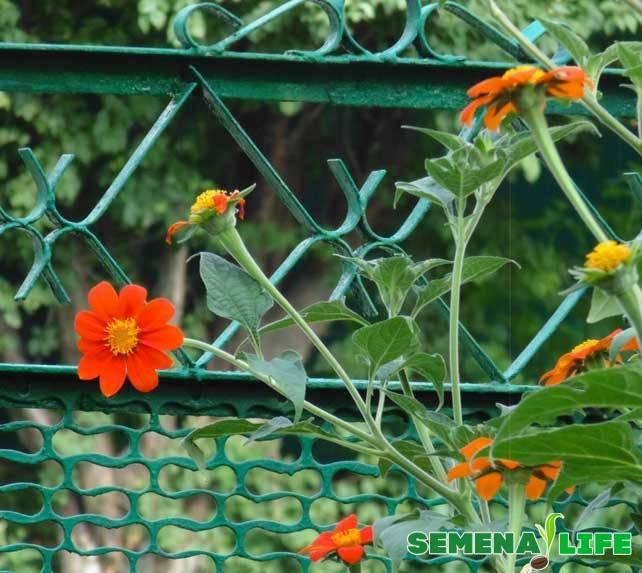Все о статице - фото, посадка и уход, выращивание из семян в открытом грунте, уход в домашних условиях