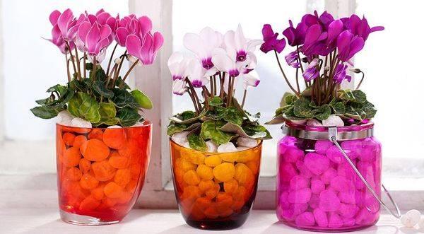 Цикламен — период покоя цветка в домашних условиях