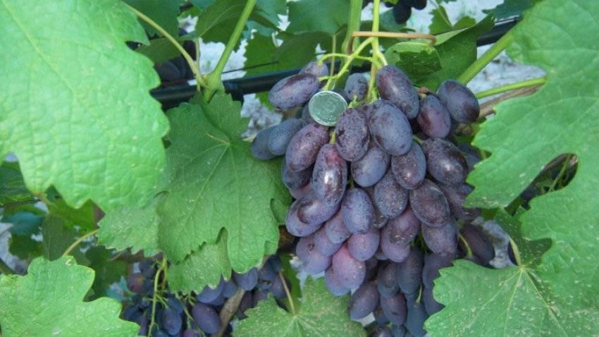 Виноград сорта валек подробное описание фото отзывы
