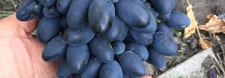 Сорт винограда Светлана — описание и особенности выращивания