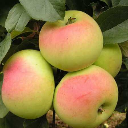 Яблоня дружное: описание сорта, фото, отызвы