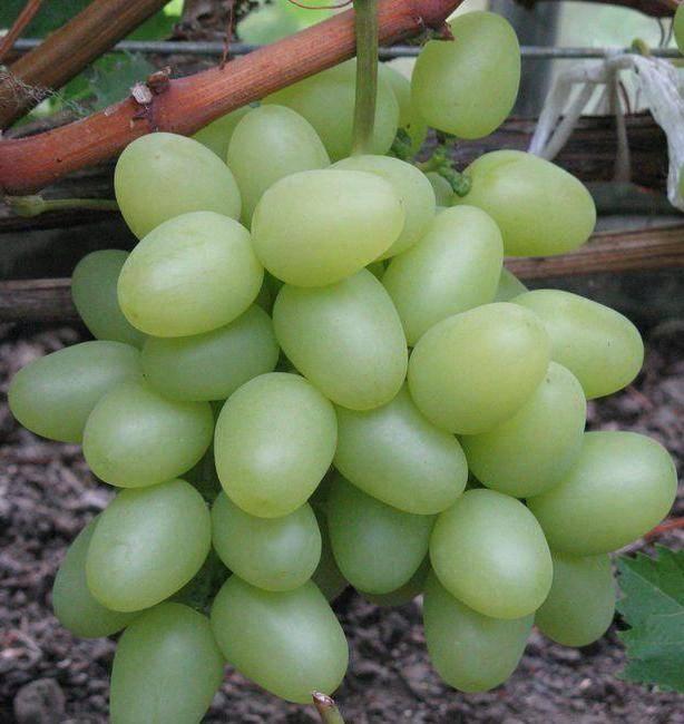 Виноград надежда аксайская, характеристика сорта, посадка и уход, описание и вкус плодов