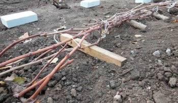 При каких температурах укрывают виноград на зиму. сроки укрывания винограда   дачная жизнь