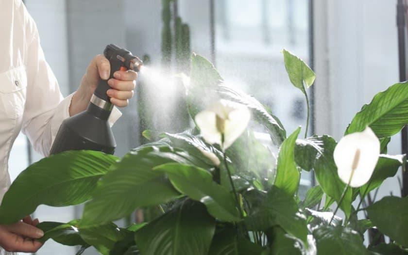 Спатифиллум уоллиса: характеристика и фото цветка, а также пошаговая инструкция по уходу за растением в домашних условиях selo.guru — интернет портал о сельском хозяйстве
