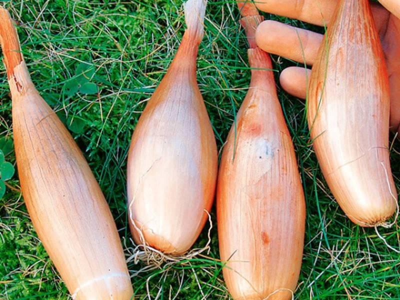 Лук шалот: описание сортов, выращивание и уход, правила посадки