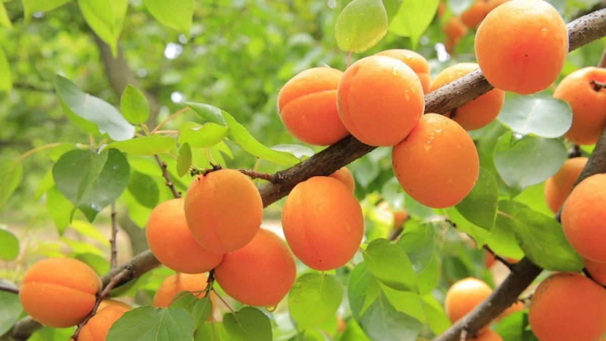 Обрезка абрикоса весной, чтобы был хороший урожай