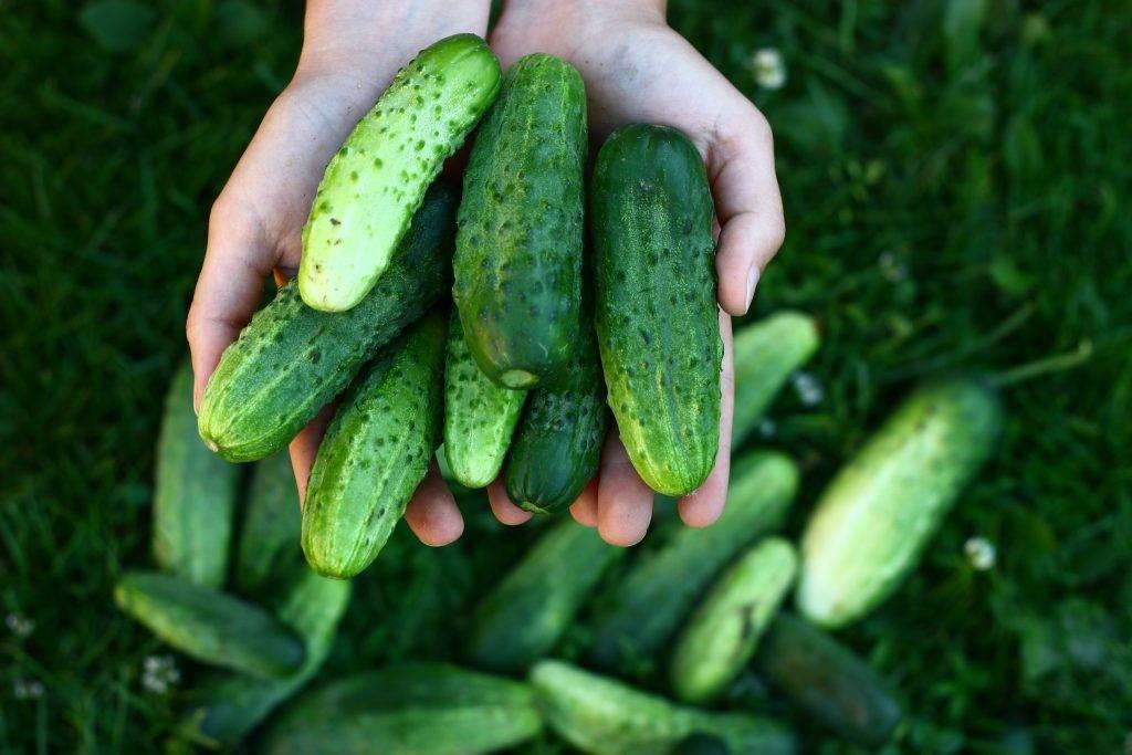 Выращивание огурцов в открытом грунте в подмосковье, видео и фото