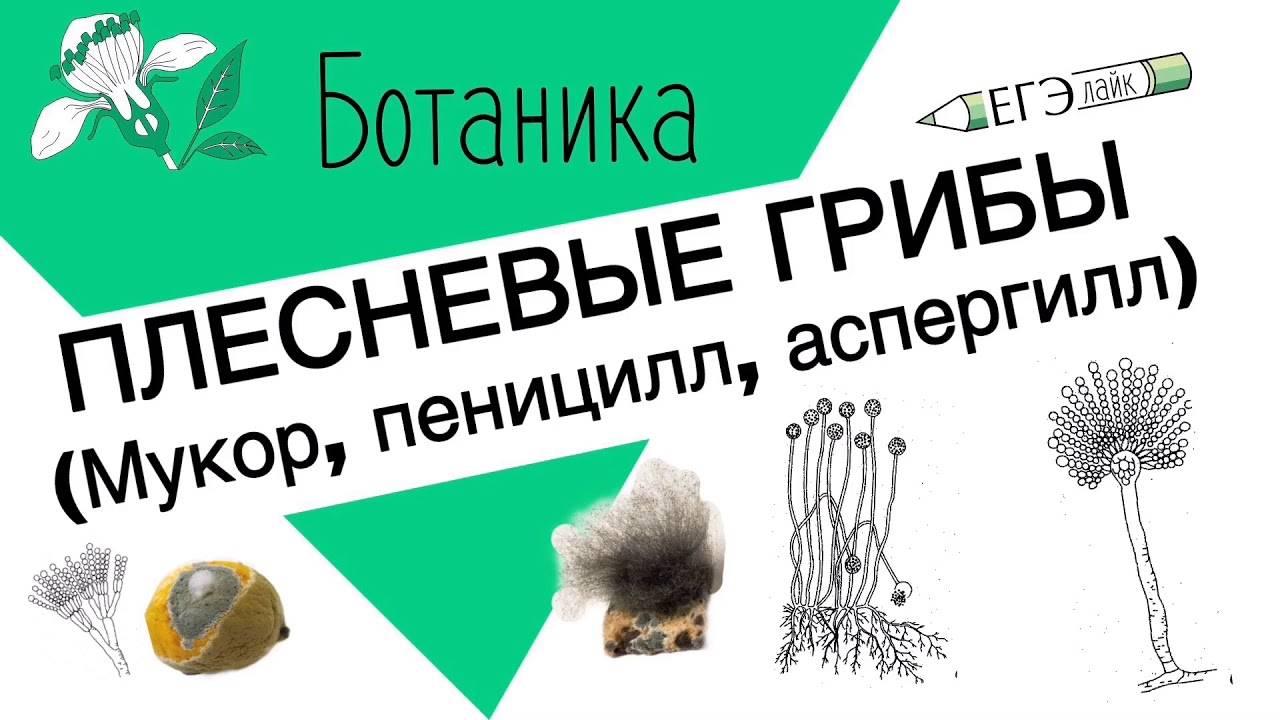 Грибы. одноклеточные, плесневые, шляпочные грибы. грибы-паразиты. - bio-lessons