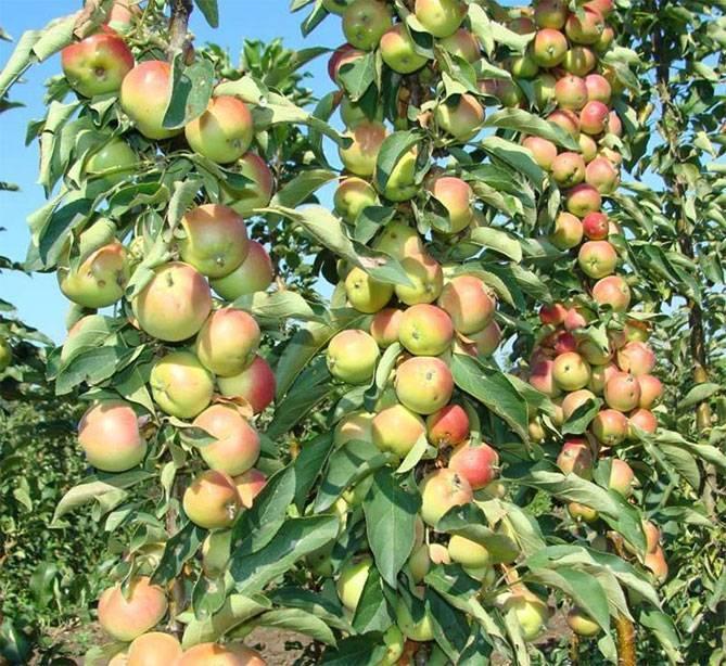 Колоновидная яблоня созвездие описание сорта