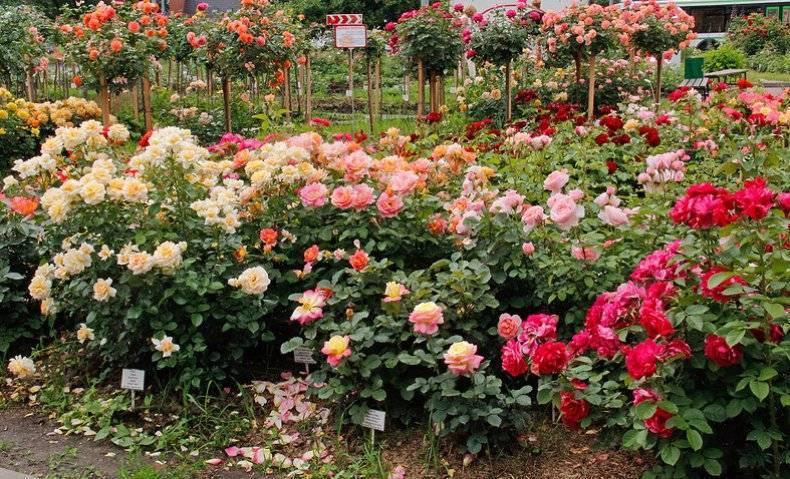 В какое время года лучше высаживать розы в грунт на даче: когда, осенью или весной