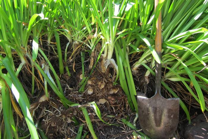Агапантус (agapanthus) посадка и уход в открытом грунте + фото