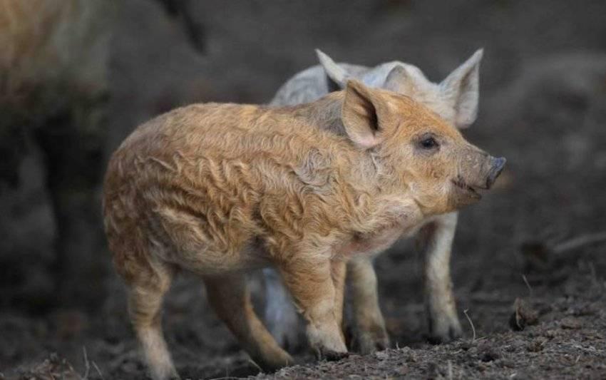 Венгерская мангалица свинья. описание, особенности, разведение и уход за венгерской мангалицей