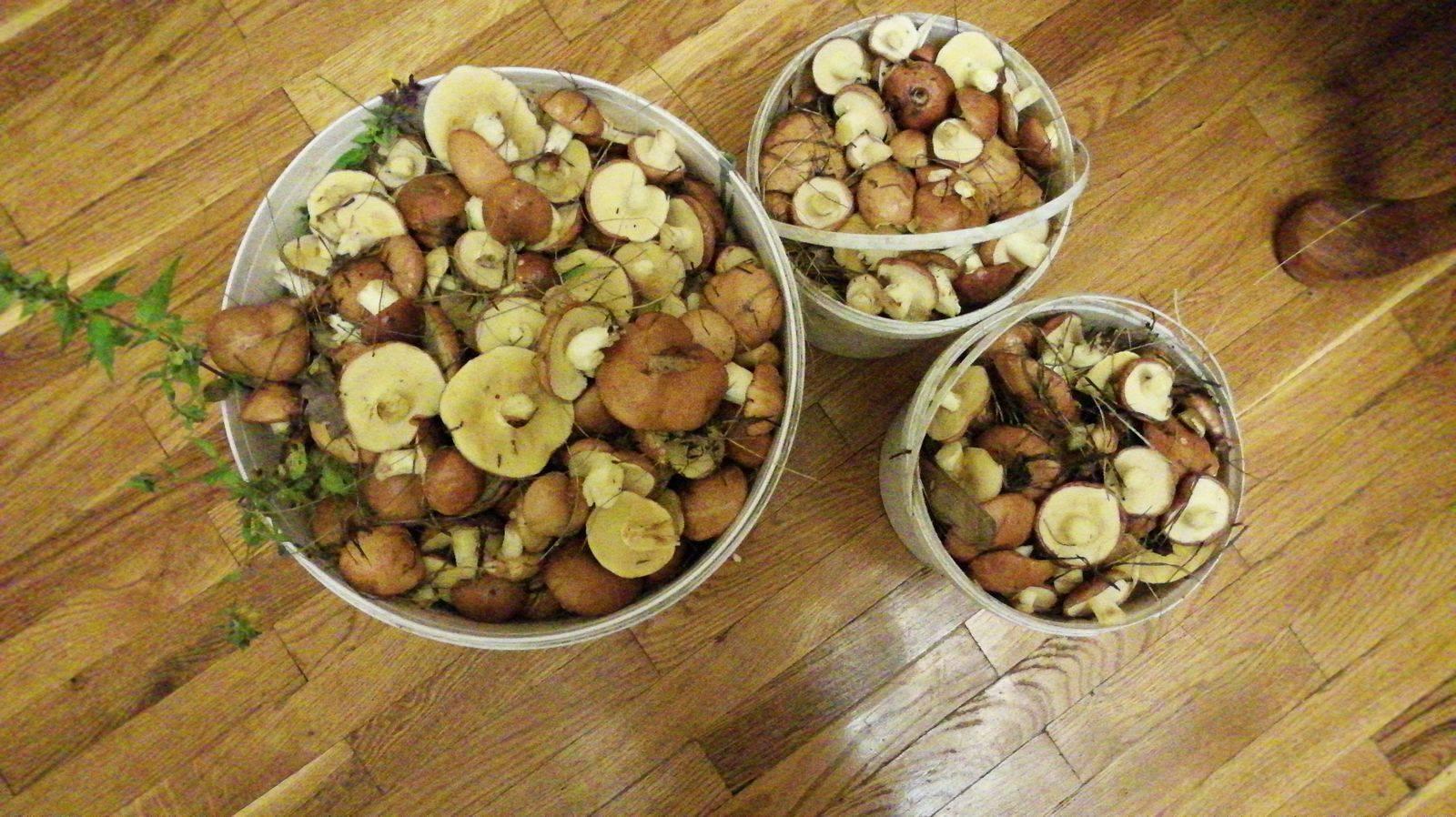 Съедобные грибы белоруссии: +41 фото, описание и как выглядят?
