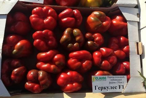 Перец геракл: характеристика и описание сорта, фото, отзывы, урожайность, достоинства и недостатки