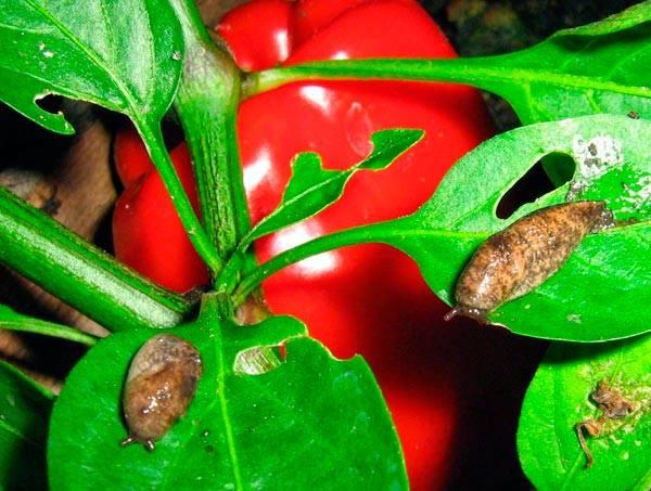 Что делать если появилась тля на рассаде перца: как бороться, чем обработать? а также другие вредители: паутинный клещ, трипсы, слизни