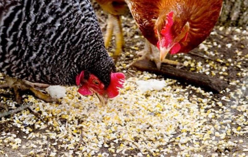 Расклев у цыплят — причины и способы борьбы с ним