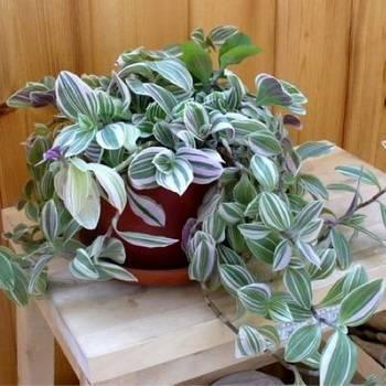 Традесканция уход в домашних условиях: можно ли держать дома комнатное растение? описание и фото