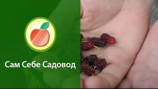 Шелковица: описание, выращивание, уход | (50+ фото)+отзывы