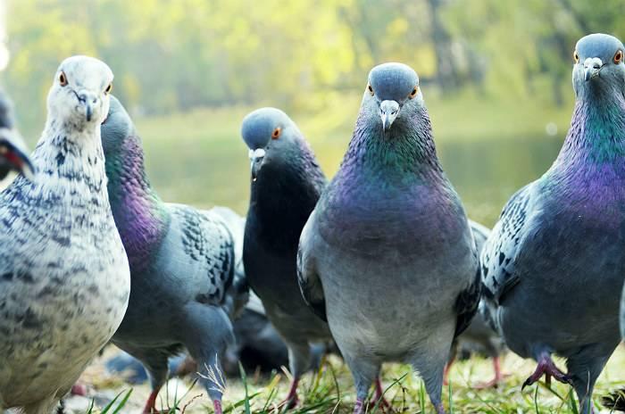 Голубь сизокрылый: питание и размножение