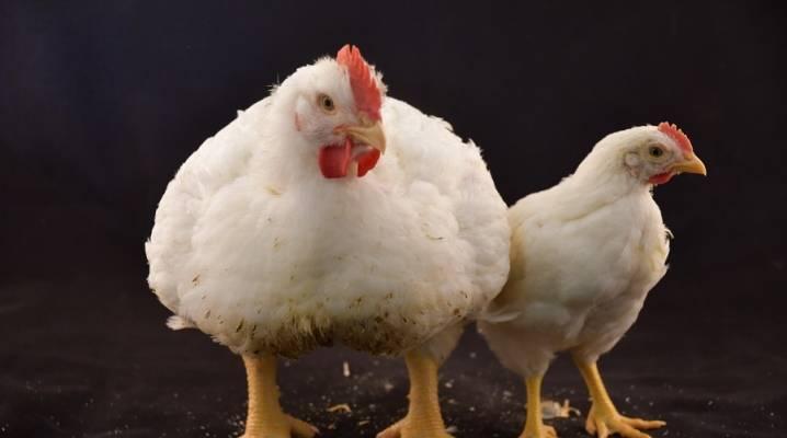 Таблица веса бройлеров по дням: максимальные показатели роста цыплят, средний привес за 14 дней. сколько весит бройлер по норме в 1 месяц?