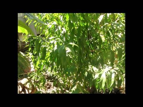 Как вырастить персик из косточки в домашних условиях, чтобы были плоды: пошаговая инструкция с фото