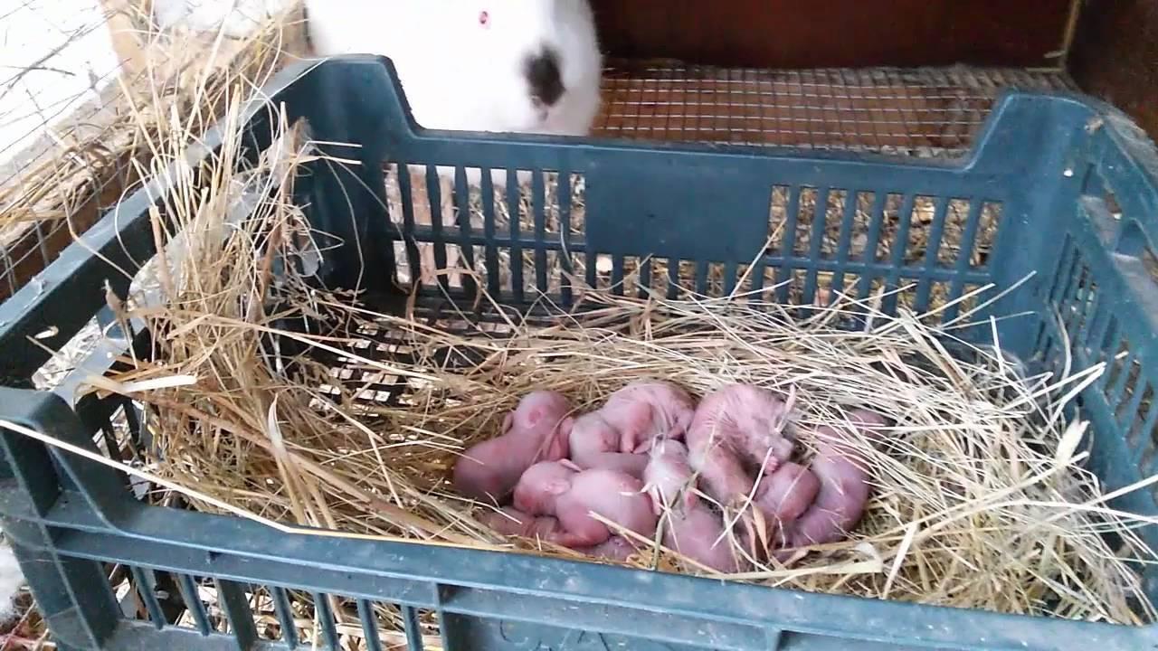 ᐉ новорожденные кролики: уход, развитие и отсадка из гнезда - zooon.ru