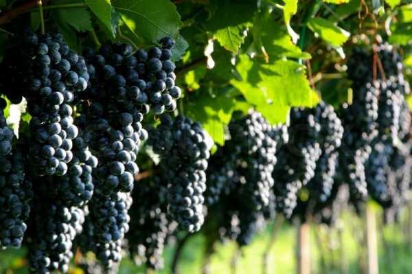 Выращивание винограда в подмосковье и в средней полосе — правила и способы